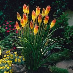 Container Gardening Ideas Kniphofia Red Hot Poker Set of 5 Roots Van Zyverden, Red/Yellow - Kniphofia Red Hot Poker Set of 5 Roots Van Zyverden Color: Red/ Yellow. Full Sun Perennials, Full Sun Plants, Zone 4 Perennials, Full Sun Flowers, Live Plants, Shade Garden, Garden Plants, Garden Water, Outdoor Plants
