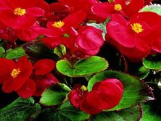 200 Pelleted Begonia Seeds Hot Tip Red Seeds BULK SEEDS #begonia