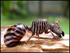 Ant zebra #ant #weird #endangered #funny #animals #photoshop