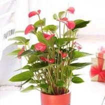 Anthurium Plants from £ 24.50