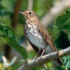 Swainson's Thrush (Catharus ustulatus) - seen at Fort Rosecrans, San Diego Kinds Of Birds, All Birds, Little Birds, Love Birds, How Beautiful, Beautiful Birds, Bird Sightings, Newfoundland And Labrador, Bird Perch