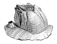 Image result for barnacle vector