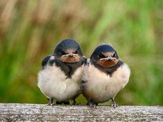 I love grumpy baby bird faces <3