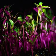 #microgreens #amaranth #amaranto #salad by dulces_pecados