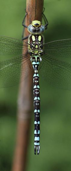 The dragonfly panorama ~ shows the extreme detail of it. 2 shot panorama of a common hawker dragonfly Beautiful Bugs, Beautiful Butterflies, Paper Butterflies, Beautiful Creatures, Animals Beautiful, Cool Bugs, Dragonfly Art, Dragonfly Photos, Fotografia Macro