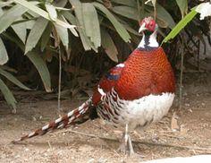 ELLIOTS PHEASANT - Pheasants : Elliots Long Tailed