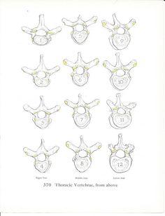 Vintage Framed Anatomy Print Vertebrae 1960s by maddoxandrose