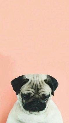#pug #dog #followmep