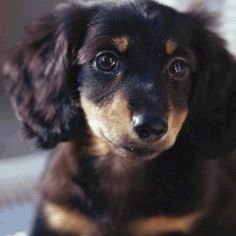 looks just like my lilly as a pup - i need to stop looking at these.