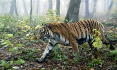 Amur TIger Reservation is being threatened by illegal logging in Russia.