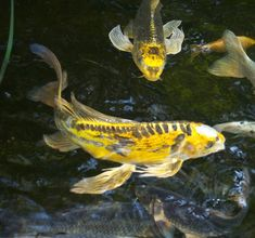 Butterfly Koi, Beauty And The Best, Ponds Backyard, Water Garden, Fish, Pictures, Animals, Garden, Coy Fish