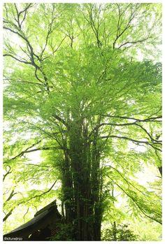 初夏の緑が冴える <貴船神社 本宮  御神木の桂> (平成27年5月15日 早朝撮影)  #氣生根 #貴船神社 #kifune (kifunejinja)