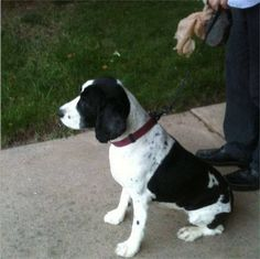 FOUND DOG: Female black and white Springer Spaniel (?) 9-19-2013, on the 1300 block of 31st St. - westside. Red collar but no tags. Contact Jenny H Chase on FB