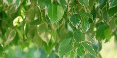 Fíkus: pěstování od A do Z
