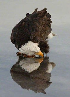 Eagle relection