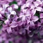 Lilac Fragrance 16 ounce