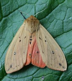 Isabella moth (Pyrrharctia isabella), adult form of the wooly bear caterpillar