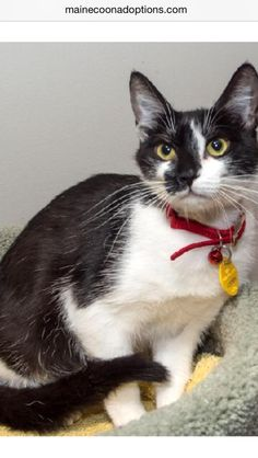 Clarissa has been Adopted!  She is about two years old. She loves to play. A little shy at first, she will be very affectionate once she gets to know you!   www.MaineCoonAdoptions.com