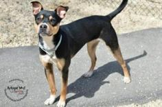 Starla is an adoptable Boxer Dog in Arlington, VA. � This smartie pants is an excellent candidate for advanced training like agility or nose work. AWLA offers discounted classes for adopters through K...