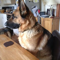 If I sit really still maybe I will get dinner? #german #shepherd #dog