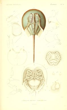 v. 9 Atlas (Crustacés) - Le règne animal distribué d'après son organisation, -17 volume French natural history w/intro by Georges Cuvier, pub 1836 to 1849 Crab Illustration, Science Illustration, Nature Illustration, Antique Illustration, Botanical Illustration, Deep Sea Animals, Weird Sea Creatures, Crab Tattoo, Horseshoe Crab