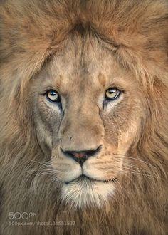 majestic - Pinned by Mak Khalaf Animals animalcateyeafacelionportraitzoo by knipser62