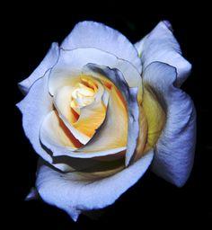 ...unique rose... by Armen Gh on 500px
