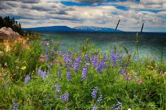 Flowers at Yellowstone Lake in the National Park, Wyoming