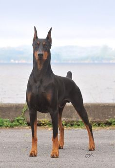 Champion Doberman show dog and therapy dog: Puppy Detects Owner's Breast Cancer, Is Officially Woman's Best Friend.  Love those ears!