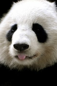 Panda, so sad it has to be reproduced in zoo's, since China does not care about human or animal rights.