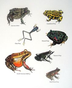 Frogs - Carroboree Frog, Glass Frog, Horned Frog, South African Bullfrog - Vintage 1980s Animal Book Plate Page