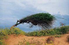 Cují o Yaque (Prosopis juliflora). Estado Falcón.