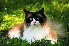 Beautiful Snowshoe Cat!