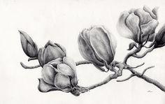 magnolia desenho ilustraçao - Pesquisa Google