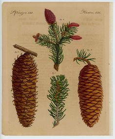1795 pine cones original antique botanical by antiqueprintstore, $75.00