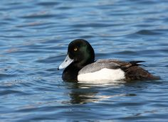 Greater Scaup 1/13 at Magnuson Park