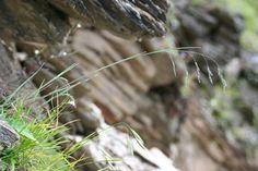 南湖大山早熟禾 Poa nankoensis - Plants of TAIWAN 台灣植物資訊整合查詢系統
