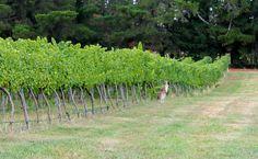 Kangaroo in 'Word of Mouth' vineyard, Orange NSW Australia