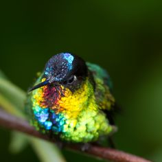 "~ "" Fiery throated Hummingbird"""