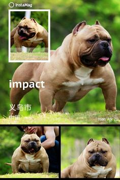 Impact- King Gampo Sir Best Dogs For Families, Family Dogs, Pocket Bully, Dog Pounds, Crazy Dog, Beast Mode, Big Dogs, Cute Baby Animals, Bullying