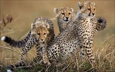 "India's Supreme Court has directed the government to suspend a move to reintroduce the cheetah, eradicated in India by hunting nearly a century ago.    The court's decision came after some experts described the plan as ""totally misconceived"".    Earlier, the government had approved wildlife groups' recommendations of two sanctuaries, in Madhya Pradesh and an area in Rajasthan, as potential homes."