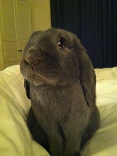 blue point mini lop