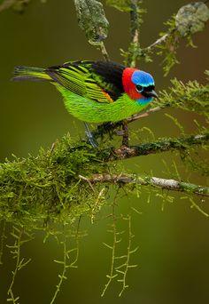 Foto saíra-militar (Tangara cyanocephala) por OctavioSalles | Wiki Aves - A Enciclopédia das Aves do Brasil