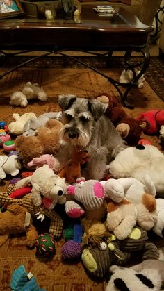 Schnauzer & his toys. That little face  is so cute