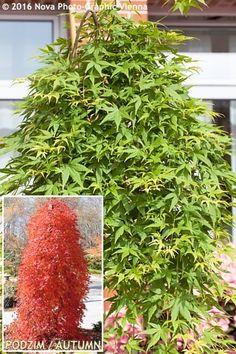 Acer palmatum - Ryusen (převislý)