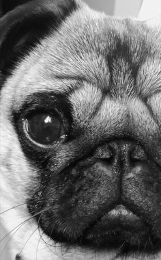 """See our web site for more relevant information on """"silver pugs"""". It is an exceptional location to get more information. Black Pug Puppies, Cute Puppies, Bernese Mountain Dogs, Pet Dogs, Pets, Doggies, Pugs And Kisses, Baby Pugs, Dog Wallpaper"""