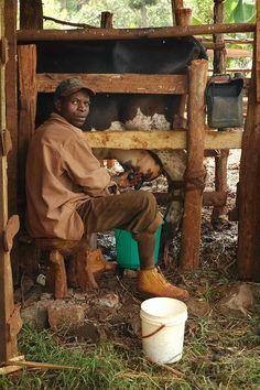 Cow Milking - Kenya