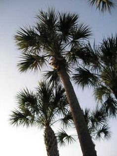 Sabal Palm-Florida State Tree. Florida designated the sabal palm (Sabal palmetto) as the official state tree in 1953. The sabal palm (also known as cabbage palm, palmetto, or cabbage palmetto) is the most widely distributed palm tree in Florida. It grows in almost any soil and has many uses, including food, medicine, and landscaping. In 1970 the Florida legislature mandated that the sabal palm tree should replace the cocoa palm on the state seal.