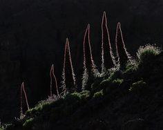 """""""Gigantes rojos"""" de José Juan Hernández, segundo premio en el concurso """"La floración del Tajinaste"""""""
