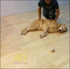Brincando de bola com seu cão preguiçoso.